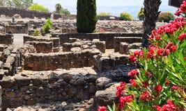 在Capernaum古老废墟的前景的红开花的灌木  图库摄影