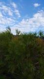 在Carmel山的云杉的绿色树,以色列 免版税库存照片