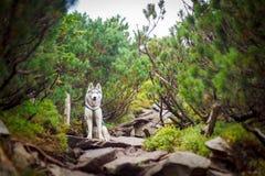 在Carpatian山的西伯利亚爱斯基摩人狗 免版税库存图片