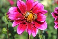 在castel trauttmansdorff的桃红色花 库存图片