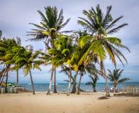 在Caye填缝隙工-伯利兹的棕榈树 免版税库存照片