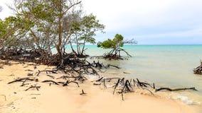在Cayo Jutias海滩的美洲红树  库存照片