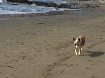 在cayucos的昆士兰heeler澳大利亚牛狗靠岸 库存照片