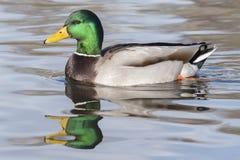 在Cemetery湖,南安普敦的一只公野鸭鸭子共同性 免版税库存图片
