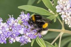在Chasteberry,德国的熊蜂terrestris 免版税库存照片