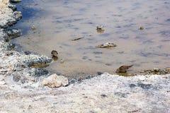 在Chaxa盐水湖,智利的胸的矶鹞 图库摄影