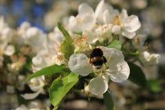 在cherryblossom的一只美丽的蜂在阳光下 免版税库存照片
