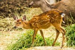 在chiangmai动物园chiangmai泰国的鹿 免版税库存图片