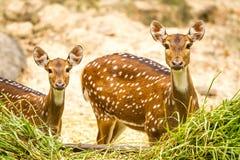 在chiangmai动物园chiangmai泰国的鹿 免版税库存照片
