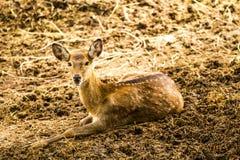 在chiangmai动物园chiangmai泰国的鹿 库存图片