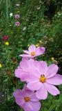 在Chiangmai泰国的桃红色花 免版税库存照片
