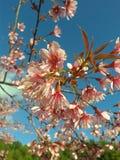 在chiangmai泰国的樱花 库存图片