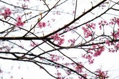 在ChiangMai省,樱花泰国佐仓桃红色花, Thaniland的冬天期间 库存图片