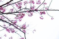 在ChiangMai省,樱花泰国佐仓桃红色花, Thaniland的冬天期间 免版税库存图片