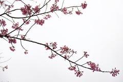 在ChiangMai省,樱花泰国佐仓桃红色花, Thaniland的冬天期间 免版税库存照片