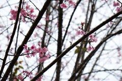 在ChiangMai省,樱花泰国佐仓桃红色花, Thaniland的冬天期间 免版税图库摄影