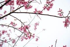 在ChiangMai省,樱花泰国佐仓桃红色花, Thaniland的冬天期间 库存照片