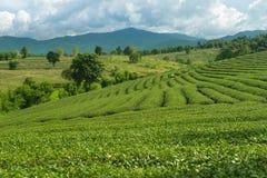 在Chiangrai,泰国的茶园风景日出视图  库存图片