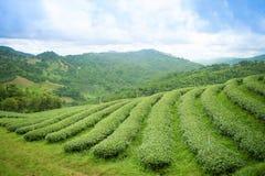 在Chiangrai,泰国的茶园风景日出视图  免版税库存图片