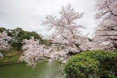在Chidorigafuchi护城河,千代田,东京,日本的樱花在春天 库存图片