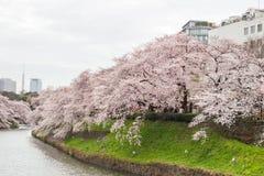 在Chidorigafuchi护城河,千代田,东京,日本的樱花在春天 免版税库存图片