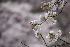 在Chidorigafuchi护城河,千代田,东京,日本的樱花在春天 免版税库存照片