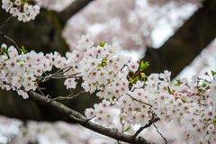 在Chidorigafuchi护城河,千代田,东京,日本的樱花在春天 图库摄影
