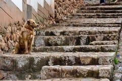 在Chinchero的被修补的街道的狗,秘鲁 免版税库存照片