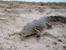 在Chobi河的充电的鳄鱼在纳米比亚 免版税库存照片