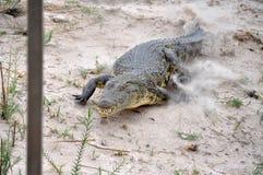 在Chobi河的充电的鳄鱼在纳米比亚 免版税图库摄影