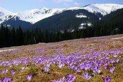 在Chocholowska谷的番红花, Tatra山,波兰 库存照片