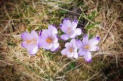 在Chocholowska谷的番红花 免版税库存图片