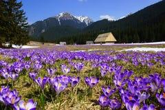 在Chocholowska谷, Tatras山,波兰的番红花 免版税库存照片