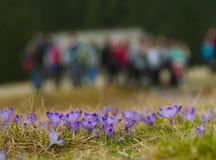 在Chocholowska谷, Tatras山,波兰的番红花 库存照片