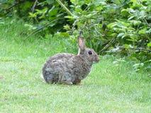在Chorleywood共同性的野生兔子 免版税库存照片