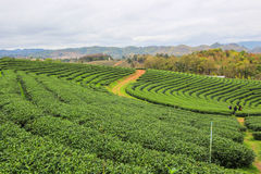 在Choui Fong茶园的绿色自然 免版税库存照片