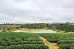 在Choui Fong茶园的绿色自然 图库摄影