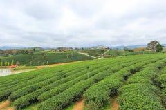 在Choui Fong茶园的绿色自然 免版税库存图片