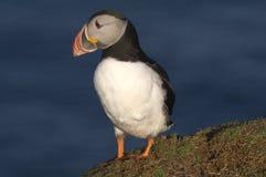 在clifftop的大西洋海鹦 免版税库存图片