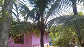 在cocount树的猴子 库存照片