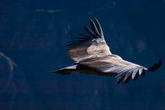 在colca峡谷的神鹰飞行 免版税图库摄影