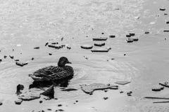 在Colfiorito沼泽翁布里亚的一只母野鸭在冬天,与浮动冰块 库存照片