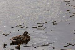 在Colfiorito沼泽翁布里亚的一只母野鸭在冬天,与浮动冰块 库存图片