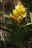 在concreate墙壁上的独特的黄色兰花万代兰属 图库摄影