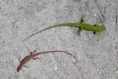 在concreet的绿色和红色蜥蜴 免版税库存照片