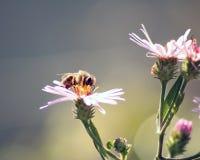 在coneflower植物的蜂 免版税库存图片