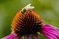 在coneflower的蜂 免版税库存图片