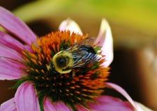 在coneflower的蜂 免版税库存照片