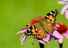 在coneflower的被绘的夫人蝴蝶在绿色 免版税库存图片