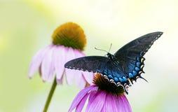 在Coneflower的黑和蓝色Swallowtail蝴蝶 库存照片